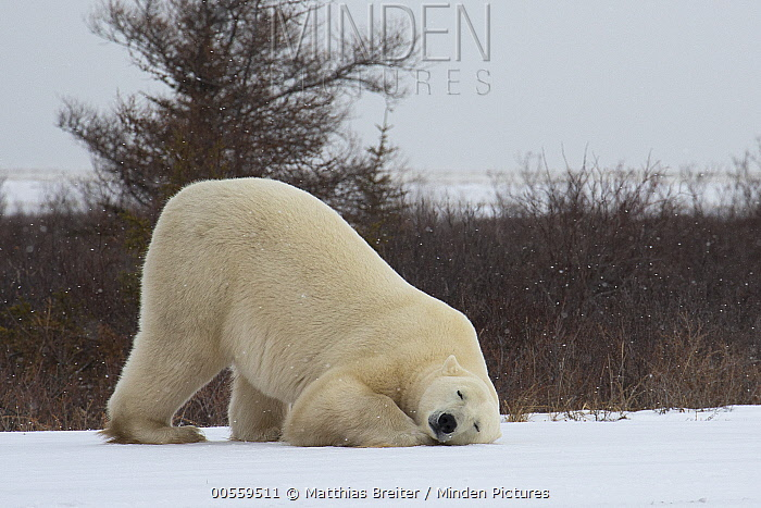 Polar Bear (Ursus maritimus) male rubbing against snow, Hudson Bay, Manitoba, Canada
