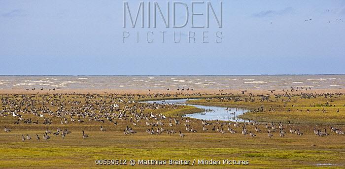 Canada Goose (Branta canadensis) and Snow Goose (Chen caerulescens) flock at coastal flats, Hudson Bay, Manitoba, Canada