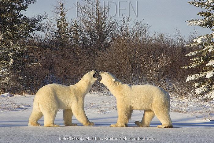 Polar Bear (Ursus maritimus) males fighting, Hudson Bay, Manitoba, Canada
