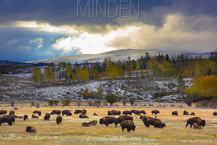 American Bison (Bison bison) herd grazing, Grand Teton National Park, Wyoming