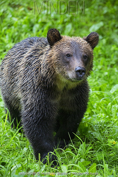 Grizzly Bear (Ursus arctos horribilis) cub in temperate rainforest, Tongass National Forest, Alaska