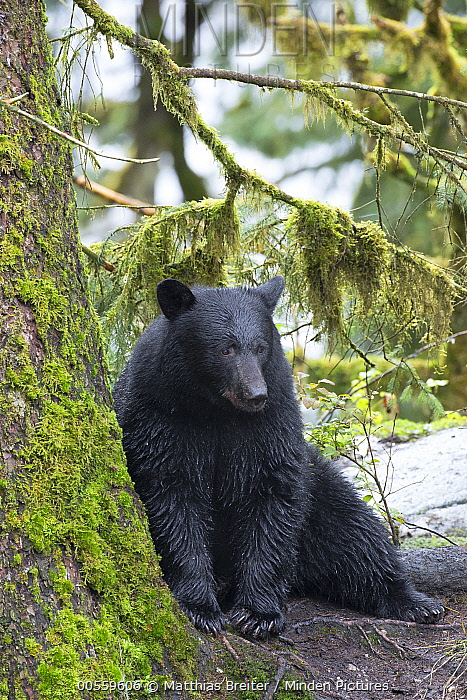 Black Bear (Ursus americanus) in temperate rainforest, Tongass National Forest, Alaska