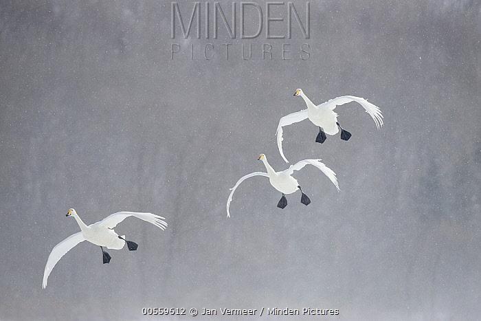 Whooper Swan (Cygnus cygnus) group flying in snowstorm, Lake Kussharo, Akan National Park, Japan
