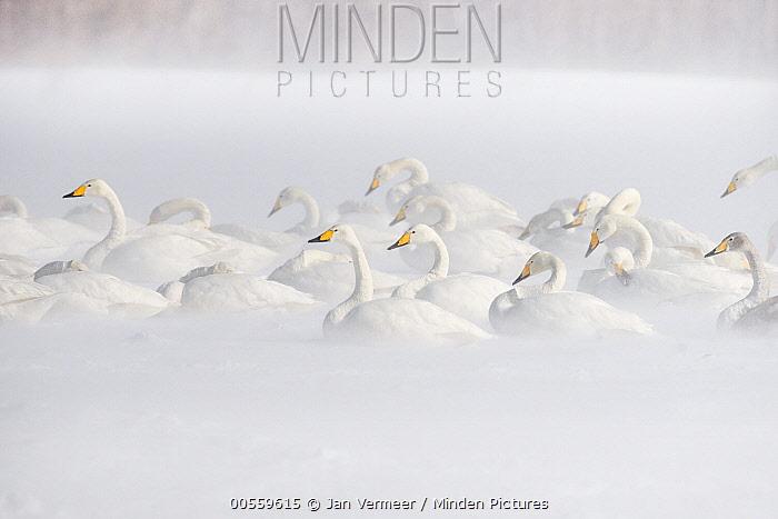 Whooper Swan (Cygnus cygnus) group in snowstorm, Lake Kussharo, Akan National Park, Japan
