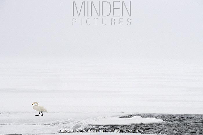 Whooper Swan (Cygnus cygnus) on ice, Lake Kussharo, Akan National Park, Japan