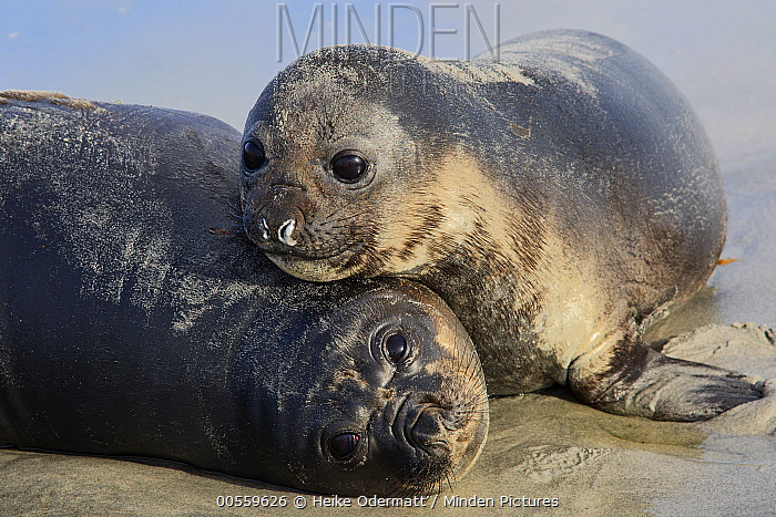 Southern Elephant Seal (Mirounga leonina) pups, Sea Lion Island, Falkland Islands