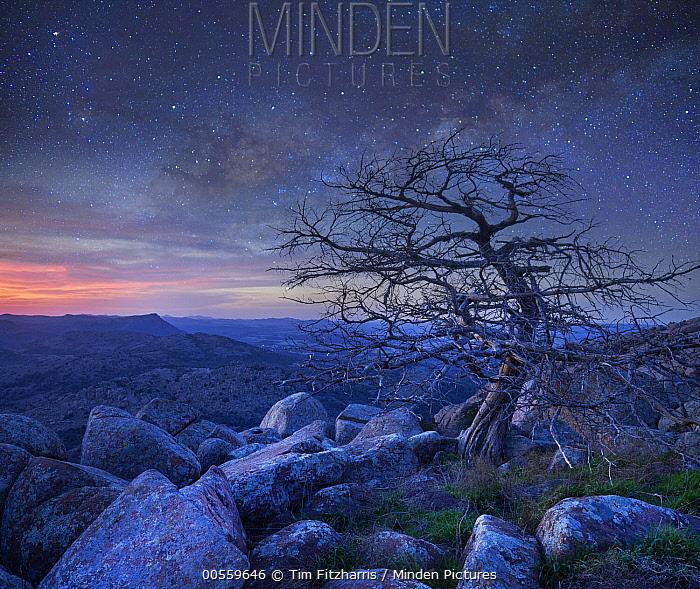 Pine (Pinus sp) tree at night, Mount Scott, Wichita Mountains National Wildlife Refuge, Oklahoma