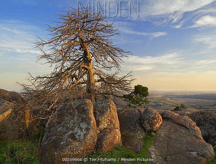 Pine (Pinus sp) tree, Mount Scott, Wichita Mountains National Wildlife Refuge, Oklahoma
