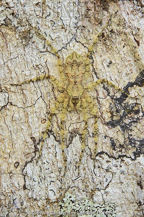 Huntsman Spider (Pandercetes sp) camouflaged on bark, Arfak Mountains, West Papua, Indonesia
