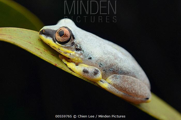 Blue Back Frog (Heterixalus madagascariensis), Palmarium Reserve, Madagascar