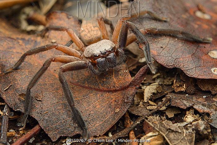 Giant Crab Spider (Sparassidae), Palmarium Reserve, Madagascar