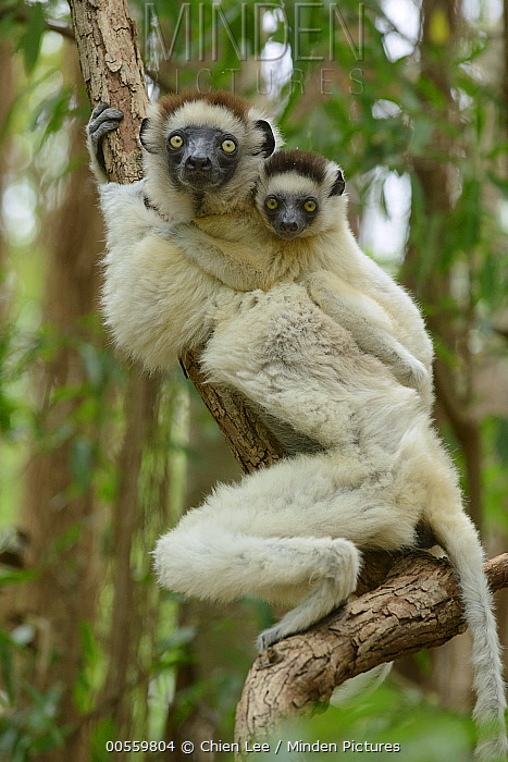 Verreaux's Sifaka (Propithecus verreauxi) mother and young, Berenty Private Reserve, Madagascar
