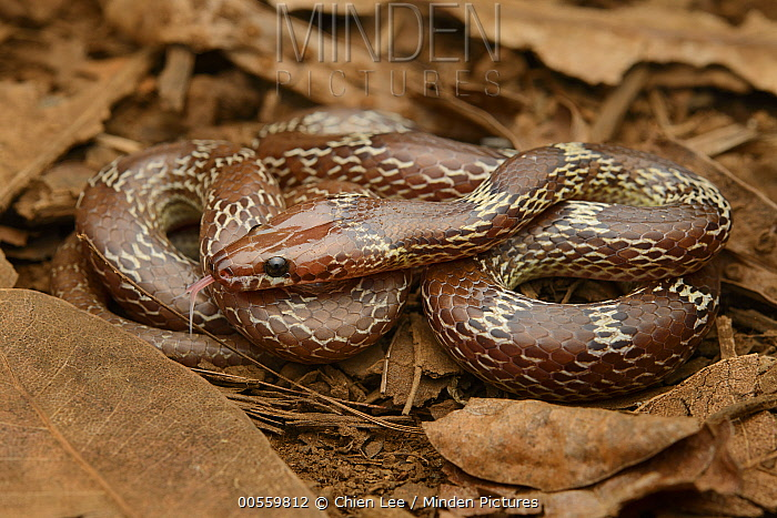 Common Wolf Snake (Lycodon capucinus), Black River Gorges National Park, Mauritius