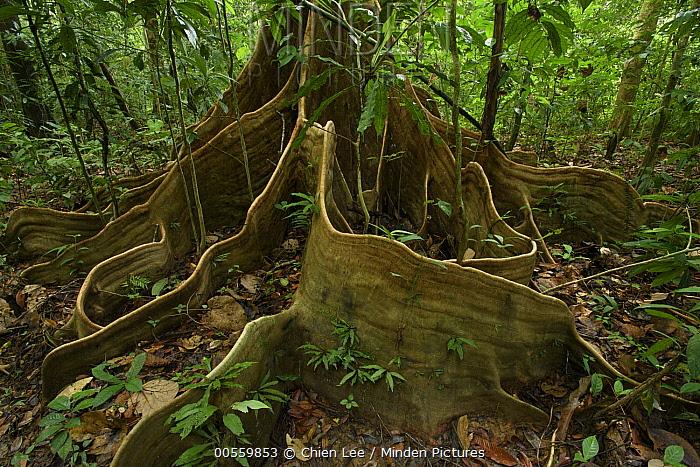 Buttress roots on rainforest tree, Mulu National Park, Sarawak, Borneo, Malaysia