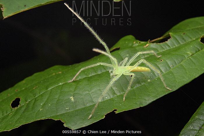 Huntsman Spider (Prychia sp) in defensive posture, Nabire, Papua, Indonesia