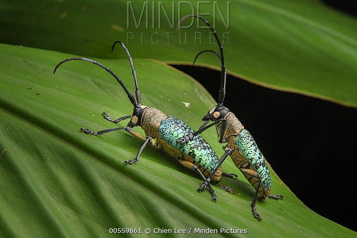 Horn Minden minden pictures stock photos horn beetle pericycos