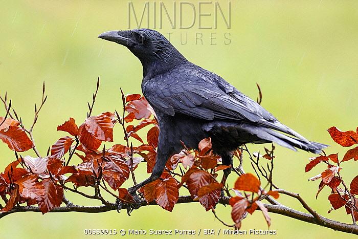 Carrion Crow (Corvus corone), Asturias, Spain