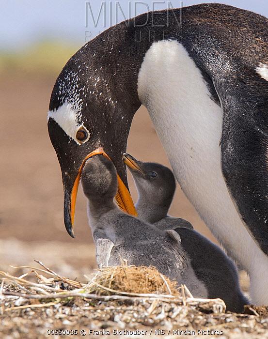 Gentoo Penguin (Pygoscelis papua) feeding chicks, Falkland Islands