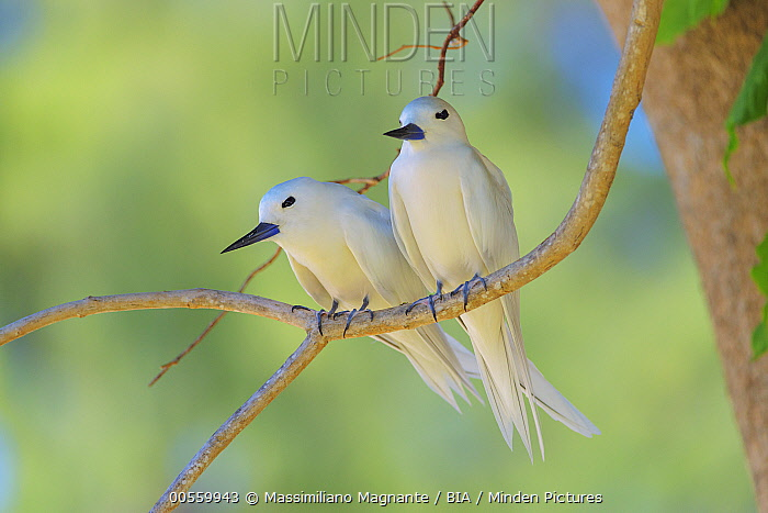 White Tern (Gygis alba) pair, Bird Island, Seychelles