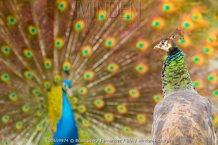 Indian Peafowl (Pavo cristatus) female watching male performing courtship display, Castilla Leon, Spain