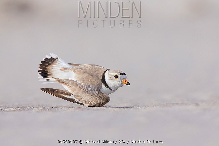 Piping Plover (Charadrius melodus) in broken wing display, Massachusetts