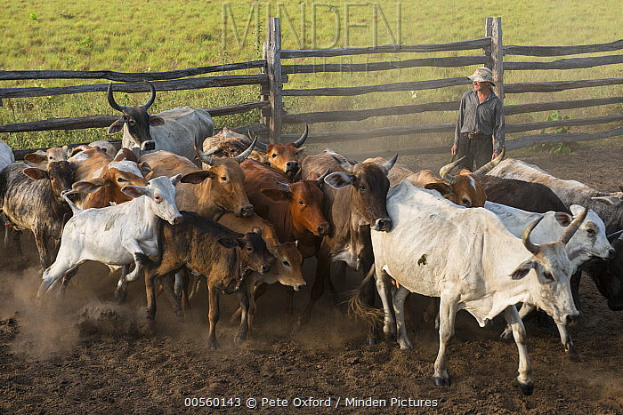 Domestic Cattle (Bos taurus) herd being rounded up, Saddle Mountain, Rurununi, Guyana