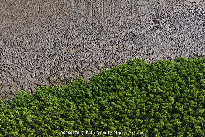 Mangrove (Rhizophora sp) forest at low tide, Shell Beach, Guyana