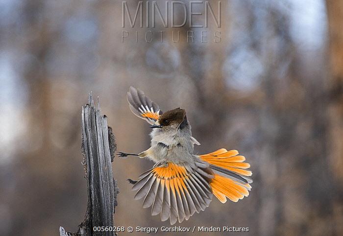 Siberian Jay (Perisoreus infaustus) landing, Putorana Plateau, Siberia, Russia