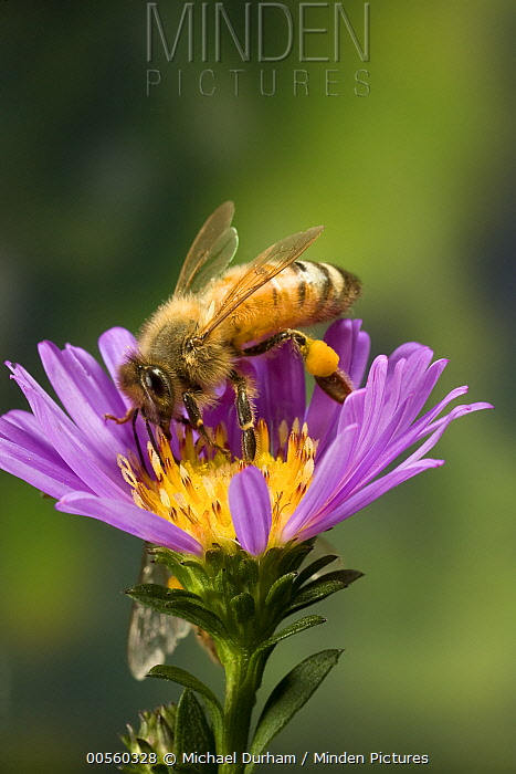Honey Bee (Apis mellifera) with pollen baskets, Oregon