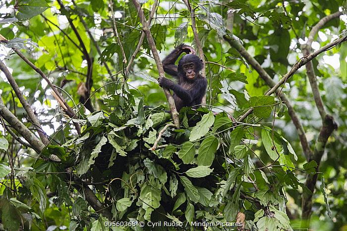 Bonobo (Pan paniscus) young in day nest, Democratic Republic of the Congo