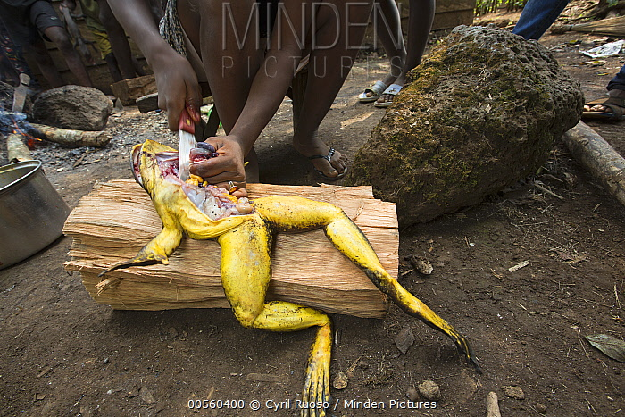 Goliath Frog (Conraua goliath) endangered species butchered for food, Cameroon