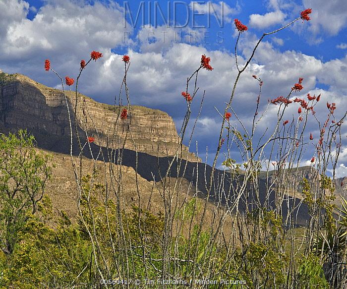 Ocotillo (Fouquieria splendens) and mesa, Lincoln National Forest, Sacramento Mountains, New Mexico