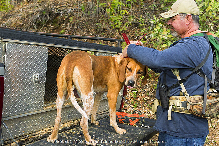 Redtick Coonhound (Canis familiaris) being fitted with tracking collar by houndsman, Troy Collinsworth, during attempt to re-collar a male puma, Santa Cruz Puma Project, Santa Cruz Mountains, California