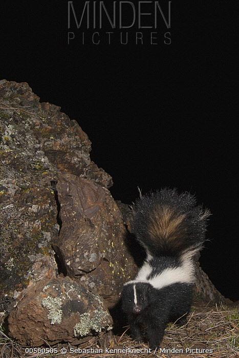 Striped Skunk (Mephitis mephitis) walking at night, Modini Mayacamas Preserve, Mayacamas Mountains, Inner Coast Ranges, California