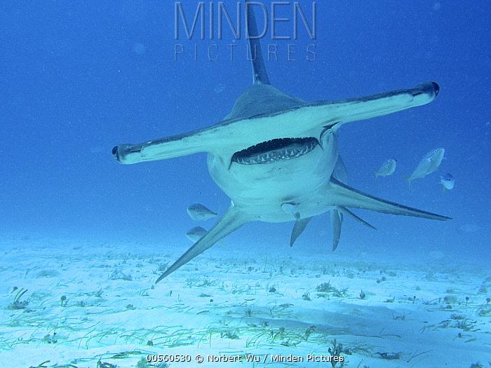 Great Hammerhead Shark (Sphyrna mokarran), Bimini, Bahamas, Caribbean