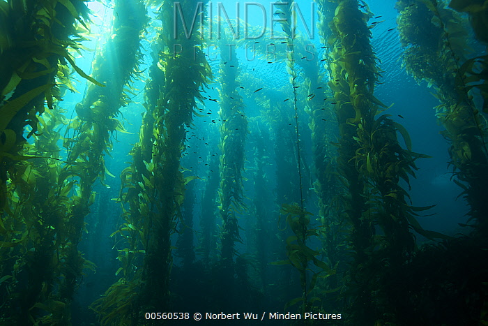 Giant Kelp (Macrocystis pyrifera) forest, California