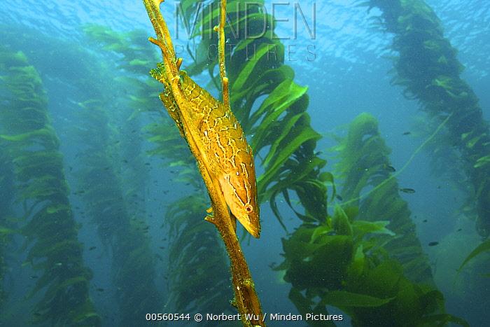 Giant Kelpfish (Heterostichus rostratus) seeking shelter in Giant Kelp (Macrocystis pyrifera) stipes, California
