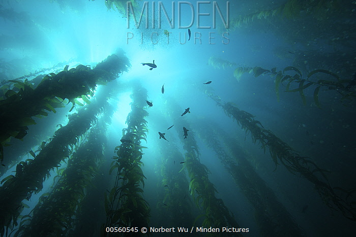 Giant Kelp (Macrocystis pyrifera) forest with fish, California