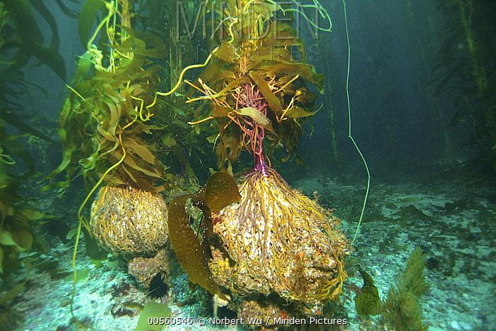 Giant Kelp (Macrocystis pyrifera) holdfasts, California