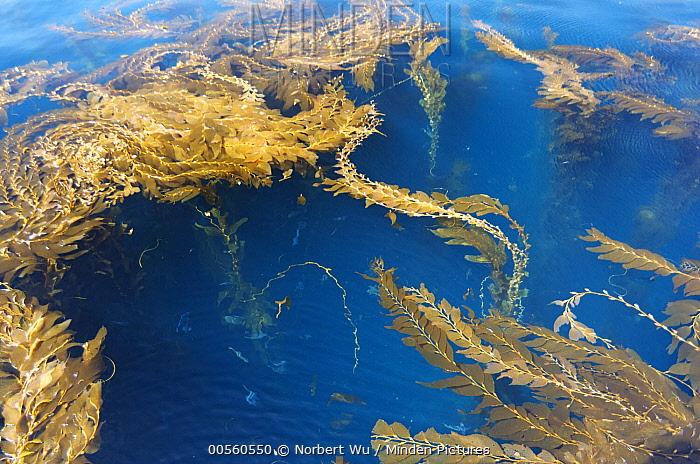 Giant Kelp (Macrocystis pyrifera) forest canopy, California