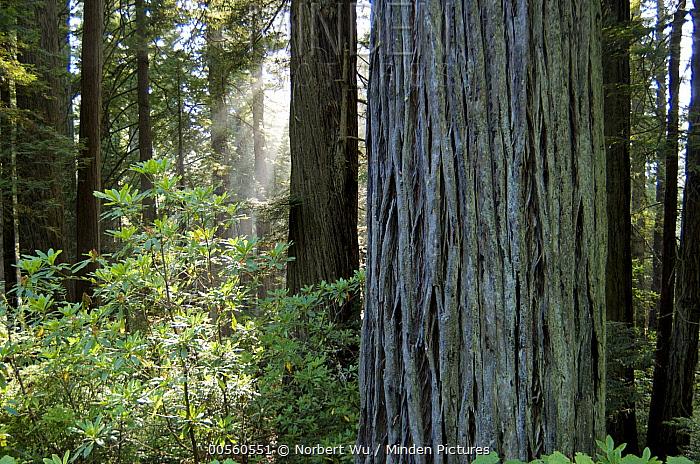Coast Redwood (Sequoia sempervirens) trees near Brookings, Oregon
