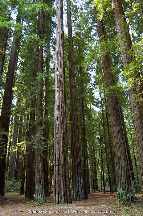 Coast Redwood (Sequoia sempervirens) forest near Humboldt Redwoods State Park, California