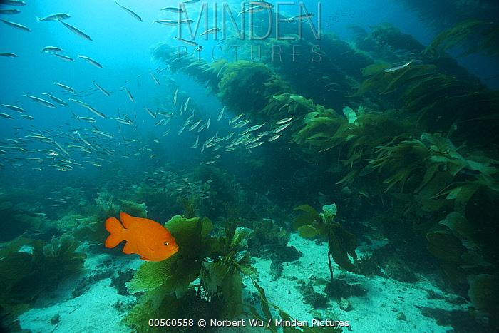 Garibaldi (Hypsypops rubicundus) and Pacific Jack Mackerel (Trachurus symmetricus) school in Giant Kelp (Macrocystis pyrifera) forest, Catalina Island, California