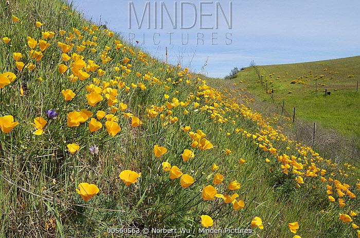 California Poppy (Eschscholzia californica) flowering on hillside, California