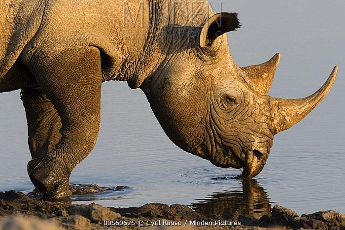 Black Rhinoceros (Diceros bicornis) drinking at waterhole, Etosha National Park, Namibia