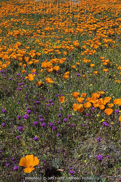 California Poppy (Eschscholzia californica) and Purple Owl's Clover (Castilleja exserta) flowers, Antelope Valley, California