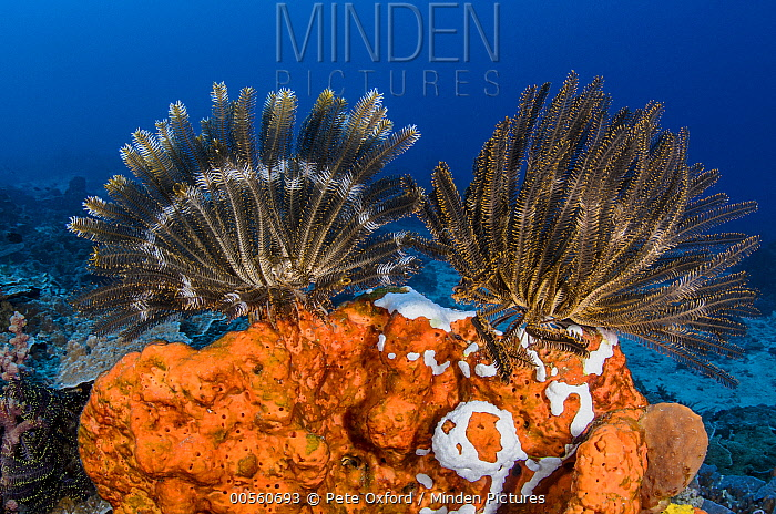 Feather Star (Oxycomanthus bennetti) pair, Cenderawasih Bay, West Papua, Indonesia