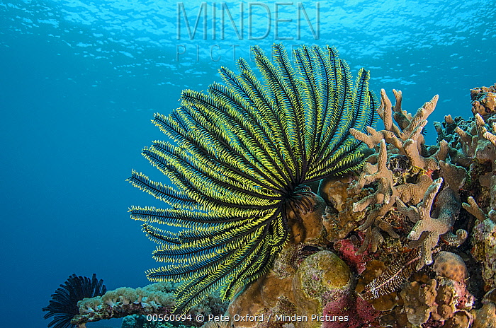 Feather Star (Oxycomanthus bennetti), Cenderawasih Bay, West Papua, Indonesia