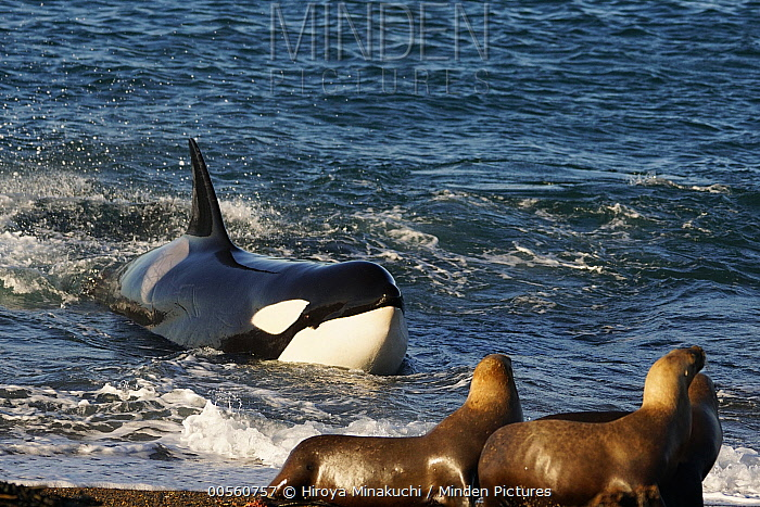 Orca (Orcinus orca) beaching itself to hunt South American Sea Lion (Otaria flavescens), Punta Norte, Peninsula Valdez, Argentina