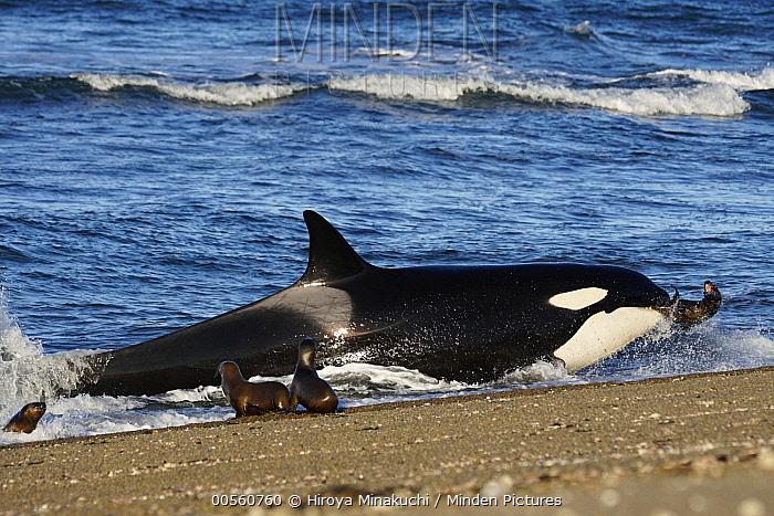 Orca (Orcinus orca) beaching itself to hunt South American Sea Lion (Otaria flavescens), Punta Norte, Peninsula Valdez, Argentina